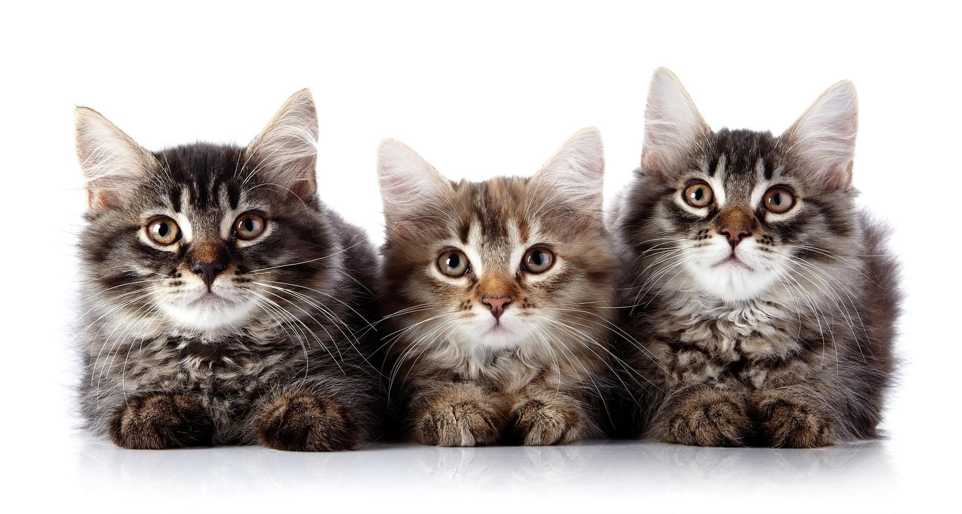مرض خطير تسببه القطط