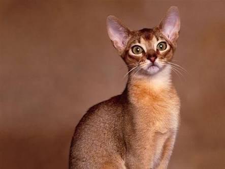 القط الحبشي - انواع القطط