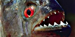 سمكة البيرانا المرعبة