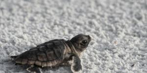 معاناة السلاحف البحرية