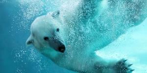 الإحتباس الحرارى والدب القطبى