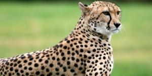 سرعة الفهد الصياد