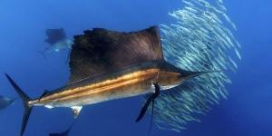 السمكة الشراعية