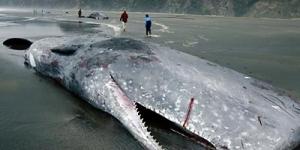 ظاهرة جنوح الحيتان