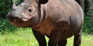 وحيد القرن السومطرى