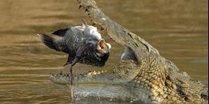 تماسيح النيل العملاقة