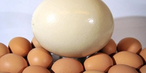 بيضة النعام العجيبة