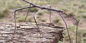 معلومات عن الحشرة الخشبية العملاقة