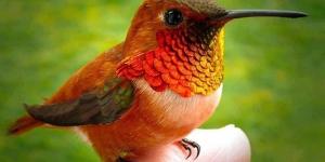 أصغر طائر على وجه الأرض