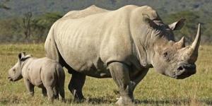 وحيد القرن ومعلومات مفيدة عنه