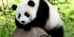 حيوان الباندا هل سينقرض