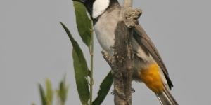 طائر البلبل الوسيم
