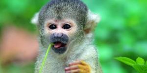 القرد السنجاب الأمريكى