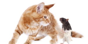 القط والفأر ومعلومات رائعة عنهم