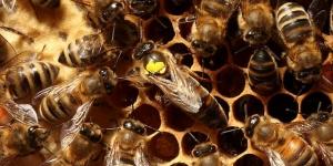 النحلة حشرة ذاتية التكييف سبحان الله