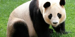 حيوان الباندا العملاق Giant Panda
