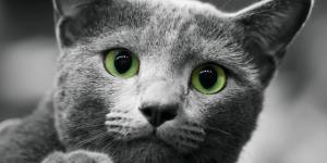 القط الازرق الروسى تعرف عليه