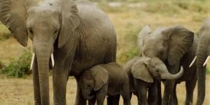 الفيلة ومعلومات مدهشة عنها