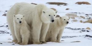 الدب القطبى ومعلومات مذهلة عنه