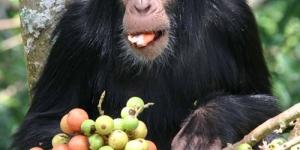 قرد الشمبانزى الذكى