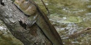 السمكة متسلقة الاشجار