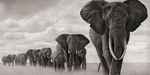 العاج الثمين سيكون سبب انقراض الفيلة