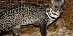 قط الزباد حيوان ينتج مسك