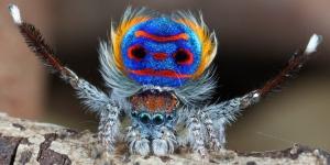 عناكب الطاووس الخلابة