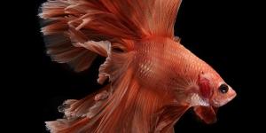 سمك الفايتر الساحر الجمال