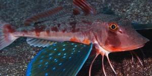 سمك الغرنار الاحمر فراشات البحر