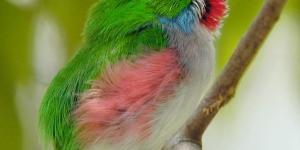 طيور التودى الرائعة