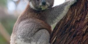 الكوالا المدهشة ومعلومات عنها