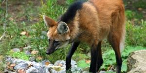 الذئب ذو العرف حيوان مدهش