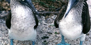 الطائر ذو القدم الزرقاء Blue-footed Boobies