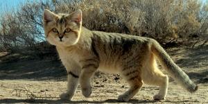 القط الرملى ومعلومات مدهشة عنه