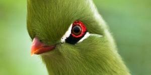 طائر توراكو غينيا الرائع