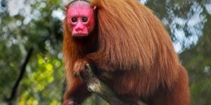 القرد الخجول ومعلومات عنه