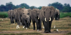 الفيلة تحزن على موتاها مثل الانسان