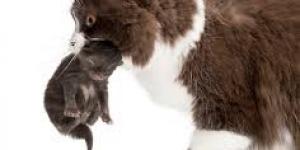 سبب حمل القطط ابناءها بفمها من رقبتهم