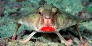 سمكة الخفاش