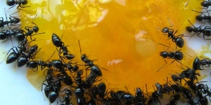كيفية القضاء على النمل المنزلى