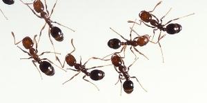 عجينة منزلية للتخلص من النمل