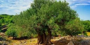 سر شجرة الزيتون