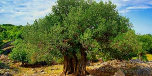 فوائد غالية لشجرة الزيتون