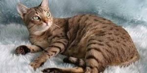 قط ميست الاسترالي - انواع القطط